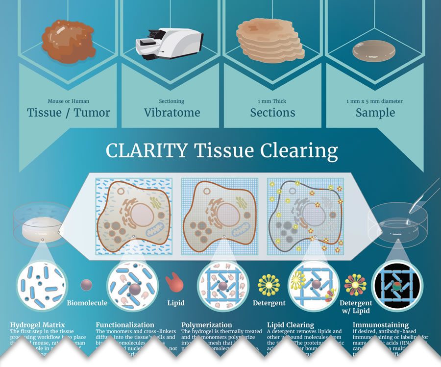 CLARITY Tissue Clearing Infographic